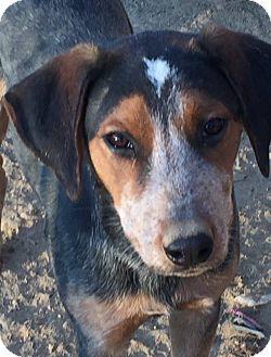 Australian Cattle Dog/Beagle Mix Dog for adoption in Warren, Maine - Sheldon - GA