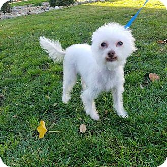 Poodle (Miniature)/Terrier (Unknown Type, Medium) Mix Dog for adoption in Elmira, California - Muffin