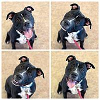 Adopt A Pet :: Trigger - Fremont, NE