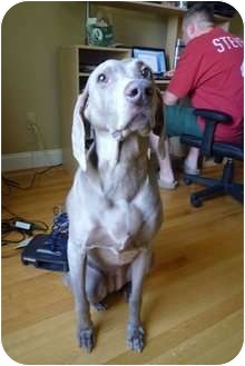 Weimaraner Dog for adoption in Attica, New York - Heidi