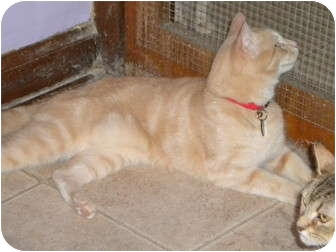Domestic Shorthair Cat for adoption in Cleveland, Ohio - Simba