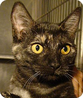Domestic Shorthair Kitten for adoption in El Cajon, California - Patches