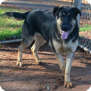 German Shepherd Dog Puppy for adoption in Greeneville, Tennessee - Django