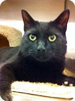 Domestic Shorthair Cat for adoption in Warminster, Pennsylvania - Dillinger