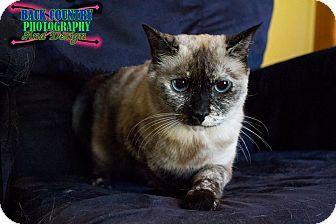 Siamese Cat for adoption in Huntsville, Ontario - Diamond - Adoption Pending!