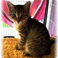 Adopt A Pet :: Princess Gray - Shelton, WA