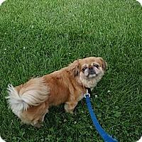Adopt A Pet :: Ginny Lee - Chantilly, VA