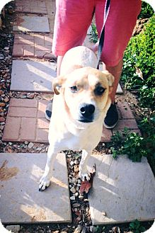 Labrador Retriever/Harrier Mix Dog for adoption in San Diego, California - Foxy