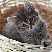 Adopt A Pet :: Slinky - Merrifield, VA