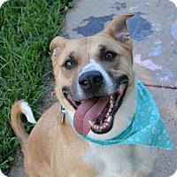 Adopt A Pet :: Sammy - St. Louis, MO