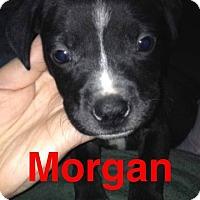Adopt A Pet :: Morgan - Garden City, MI