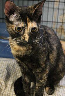 Domestic Shorthair Cat for adoption in Yukon, Oklahoma - Destiny