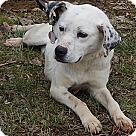 Adopt A Pet :: Daisy #2(55 lb) URGENT!