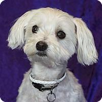 Adopt A Pet :: Snoball - San Dimas, CA