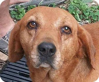 Beagle/Basset Hound Mix Dog for adoption in Washington, D.C. - BoBo