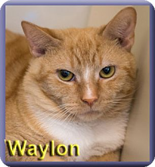 Domestic Shorthair Cat for adoption in Aldie, Virginia - Waylon