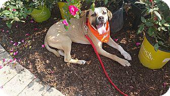 Boxer/Labrador Retriever Mix Dog for adoption in joliet, Illinois - Darby