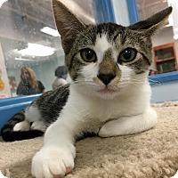 Domestic Shorthair Kitten for adoption in St. Louis, Missouri - Marco