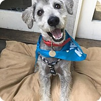 Standard Schnauzer/Poodle (Miniature) Mix Dog for adoption in Los Angeles, California - Axel