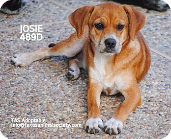 Beagle/Terrier (Unknown Type, Small) Mix Dog for adoption in Spring, Texas - Josie