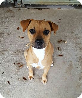 Black Mouth Cur Mix Dog for adoption in Umatilla, Florida - Asia