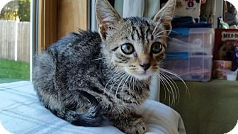 Domestic Shorthair Kitten for adoption in Sparta, New Jersey - Grace