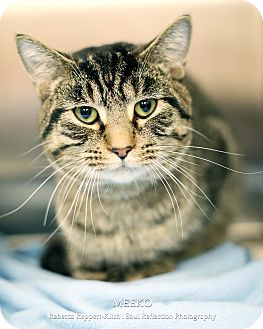 Domestic Shorthair Cat for adoption in Appleton, Wisconsin - Meeko