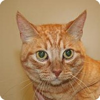 Adopt A Pet :: Garfield - Wildomar, CA