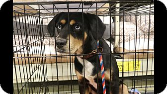 Rottweiler/Husky Mix Dog for adoption in Irmo, South Carolina - Koda