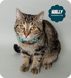 Domestic Shorthair Cat for adoption in Wyandotte, Michigan - Wally