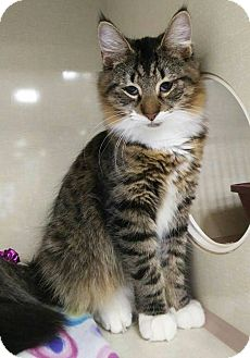 Maine Coon Cat for adoption in Berkeley Hts, New Jersey - Caleb