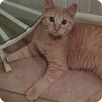 Adopt A Pet :: Punkin - Macomb, IL