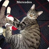 Domestic Shorthair Cat for adoption in Bentonville, Arkansas - Mercedes