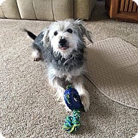 Adopt A Pet :: Scrappy Do - Indianapolis, IN