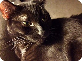 Siamese Cat for adoption in Troy, Michigan - Jackie LOVES dogs