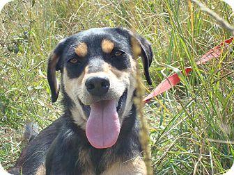 Labrador Retriever/Shepherd (Unknown Type) Mix Dog for adoption in Redmond, Washington - Debby