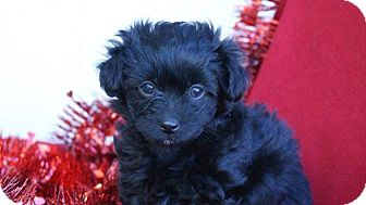 Cockapoo Mix Puppy for adoption in Torrance, California - NATALIE