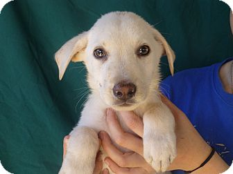 Golden Retriever/Labrador Retriever Mix Puppy for adoption in Oviedo, Florida - Mark