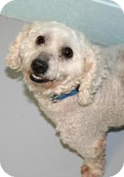 Bichon Frise/Poodle (Miniature) Mix Dog for adoption in Muskegon, Michigan - Louie