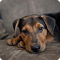 Adopt A Pet :: Teva - Nashville, TN