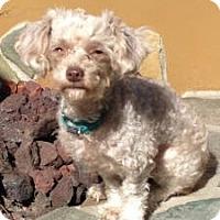 Adopt A Pet :: Abigail - Long Beach, CA