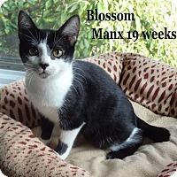 Adopt A Pet :: Blossom - Bentonville, AR