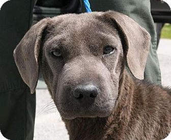 Shar Pei/Labrador Retriever Mix Dog for adoption in West Columbia, South Carolina - Kimi