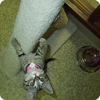 Adopt A Pet :: Mischief - Medina, OH