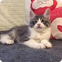 Adopt A Pet :: Fluff - Glendale, AZ