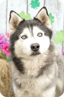 Alaskan Malamute/Siberian Husky Mix Dog for adoption in Inverness, Florida - Sanuk - URGENT !!