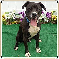 Adopt A Pet :: Spike-LOCAL - Lebanon, ME