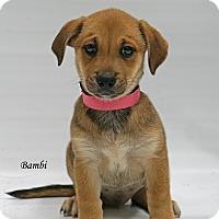 Adopt A Pet :: Bambi - Old Saybrook, CT