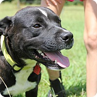 Terrier (Unknown Type, Medium)/Labrador Retriever Mix Dog for adoption in Pittsboro, North Carolina - Spud