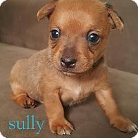 Adopt A Pet :: Sully - Gilbert, AZ